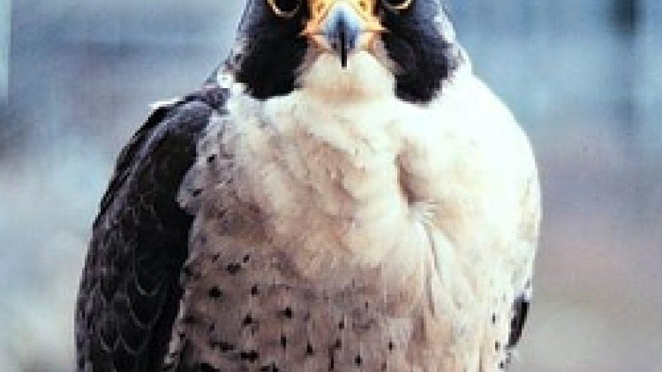 Sokol stěhovavý (Falco peregrinus)