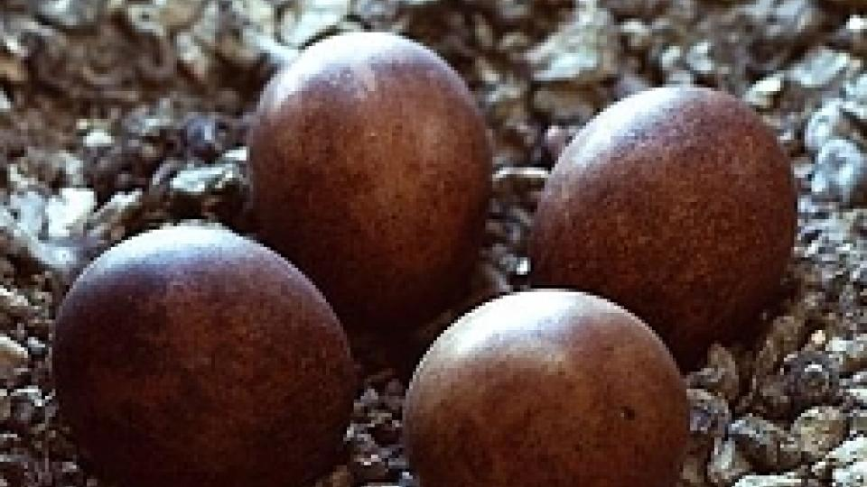 Vajíčka sokola stěhovavého