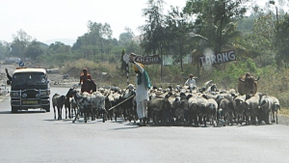 Nesmí chybět dobytek na cestě