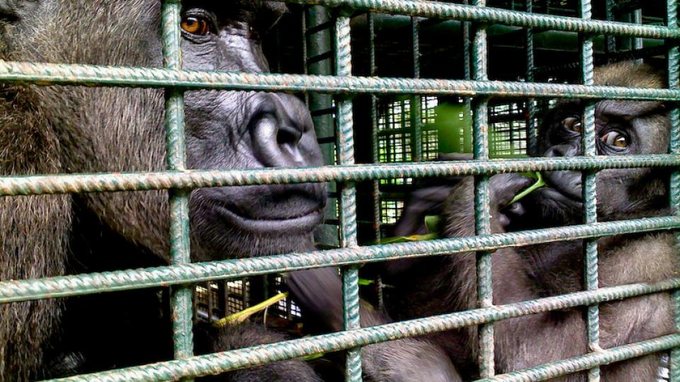 Adjibolo - roční gorilí sirotek v LWC - s náhradní mámou