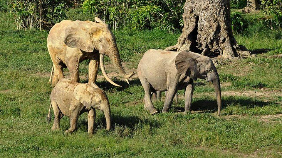 Diana II se svými dvěma mláďaty (jedno je schované za ní) a dospělý samec Blacky.