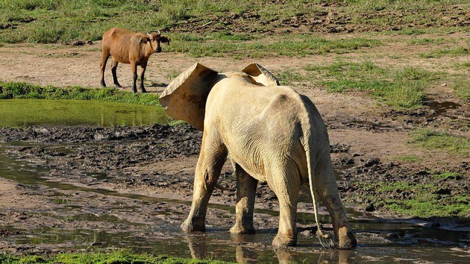 Dospělá samice a pralesní buvol