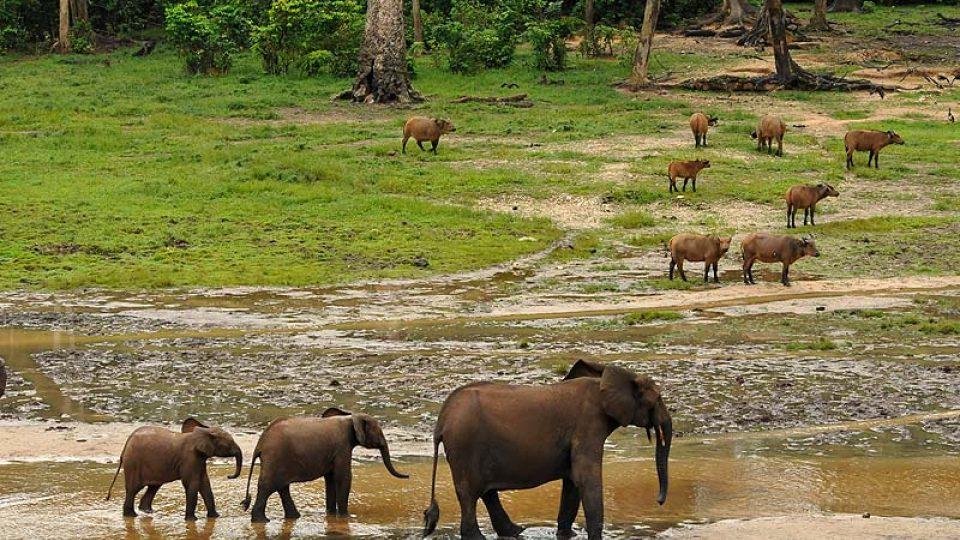 Rodina slonů a pralesní buvoli