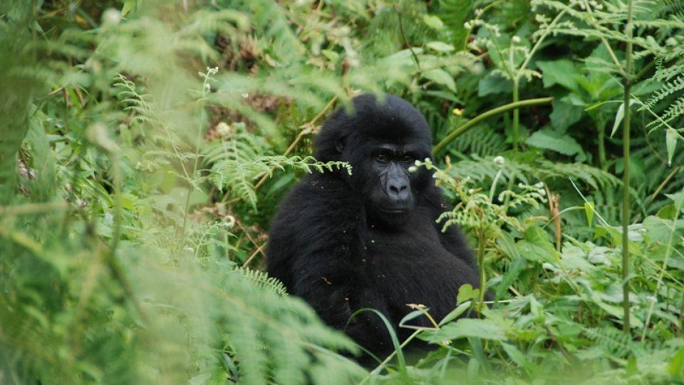 Odrostlejší mládě gorily horské Marayika čekalo na svou matku.
