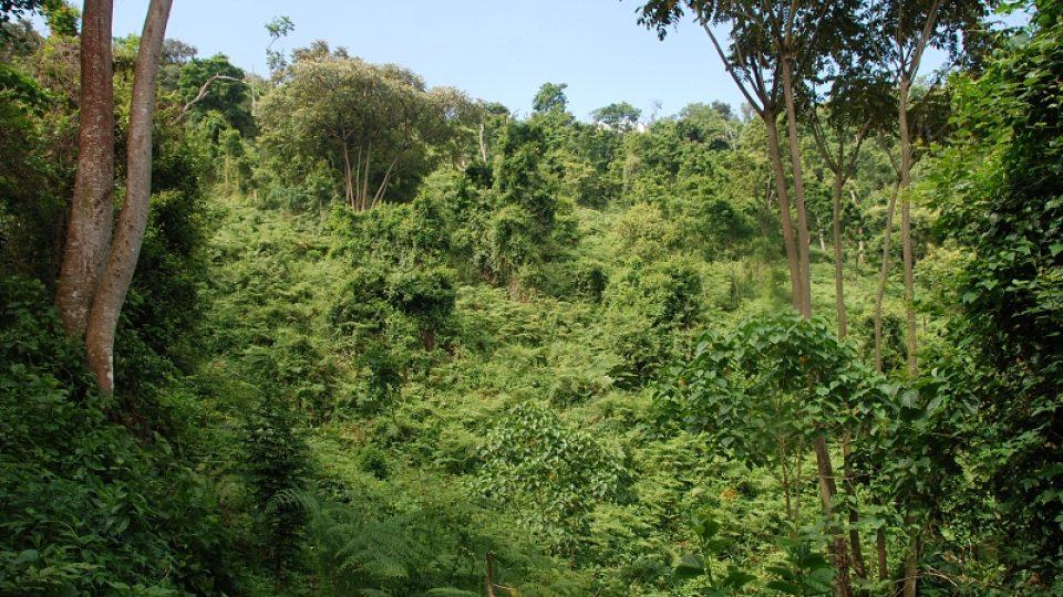 Biotop horských goril - národní park Bwindi, Uganda