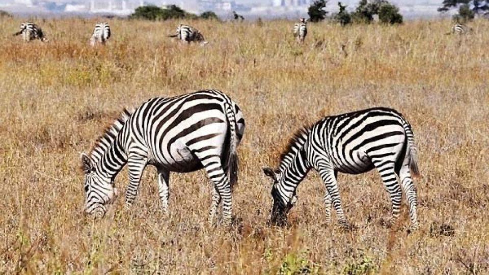 Richrad Leakey se zasloužil mimo jiné i o to, že posílil, vyzbrojil a motorizoval hlídky v keňských národních parcích.