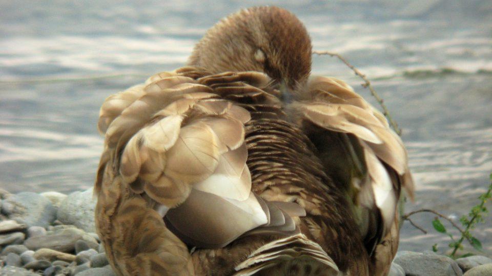 Kachna divoká se světle žlutou pigmentací (flavismus). Bečva v Přerově, 2.8.2008.