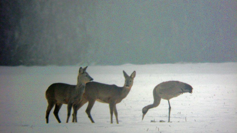 Jeřáb popelavý zimující se stádem srn. Tovačov, 17.1.2009.