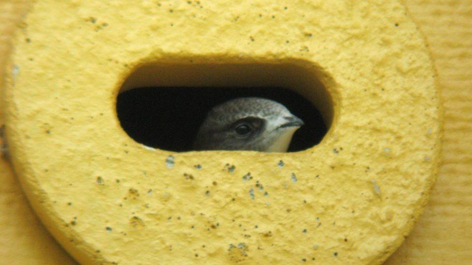 Rorýs obecný, mládě v hnízdní budce. Přerov, 18.7.2010.
