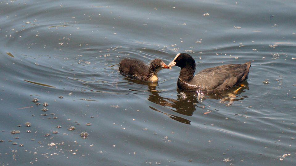 Mateřská láska (lyska s mládětem). Bodamské jezero, Rakousko. 25. 7. 2010.